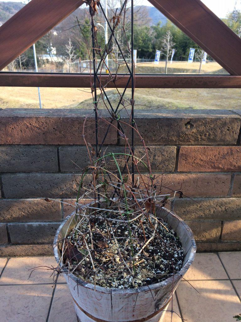クレマチスの枯れ枝