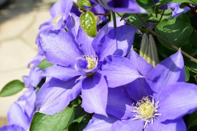 クレマチスの花々