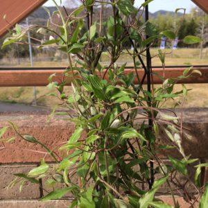 クレマチスの花芽2