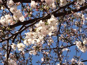 西天満公園の桜1