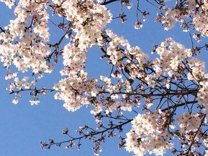 西天満公園の桜3