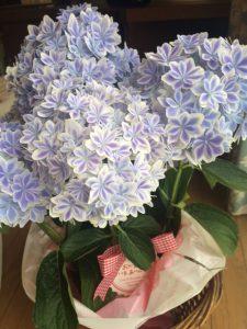 母の日プレゼントの紫陽花「万華鏡」