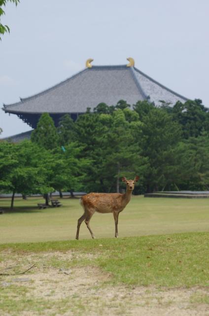奈良東大寺の鹿