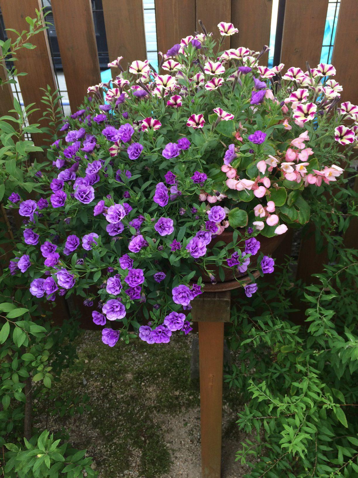 寄せ植えの鉢2