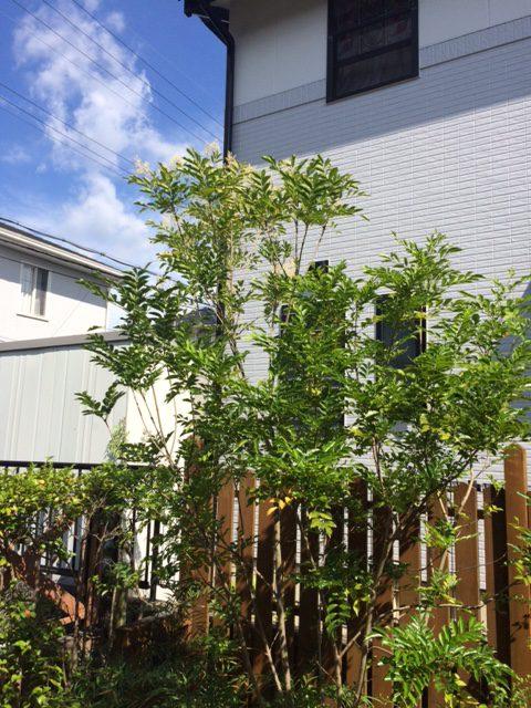 我が家の庭木シマトネリコ